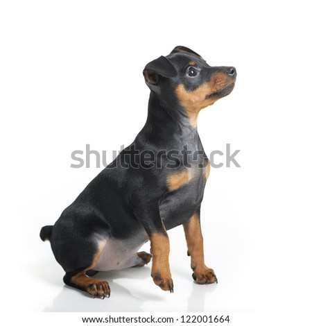 Miniature Pinscher puppy isolated on white background - stock photo