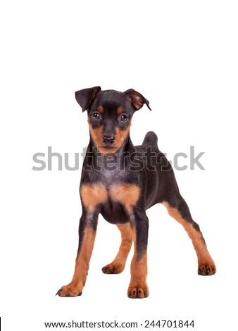 Miniature Pinscher Puppy - Stock Image - stock photo