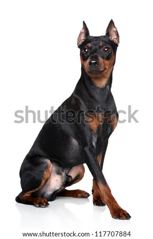 Miniature Pinscher (zwerg pinscher) sits on a white background