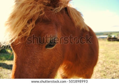 Miniature pony close up