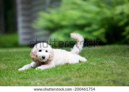 Miniature poodle having fun outdoors - stock photo