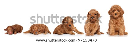 Miniature Poodle. Puppy growing (2 days, 2 week, 3 week, 4 week, 6 week) on a white background - stock photo