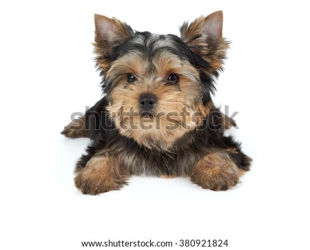 Miniature puppy of the Yorkshire Terrier isolated on white