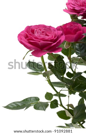 Miniature Rose house plant, close up - stock photo