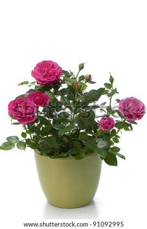 Miniature Rose house plant in flower pot - stock photo