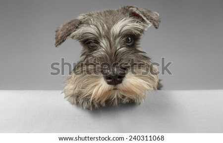 Miniature salt and pepper schnauzer puppy posing - stock photo