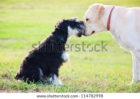 Miniature Schnauzer and labrador bonding - stock photo