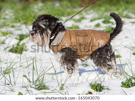 Miniature schnauzer in brown leather jacket walking on snow