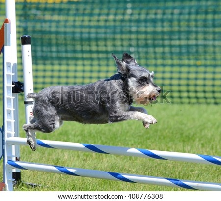 Miniature Schnauzer Leaping Over a Jump at Dog Agility Trial - stock photo