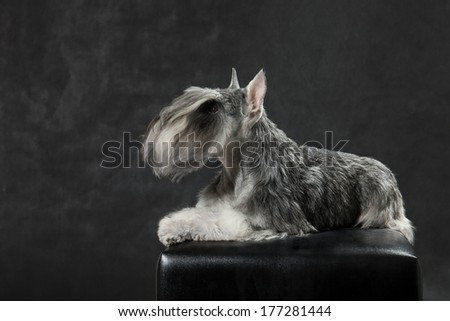 Miniature Schnauzer on a black background in studio - stock photo