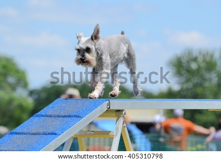 Miniature Schnauzer on a Dog Walk at Agility Trial - stock photo