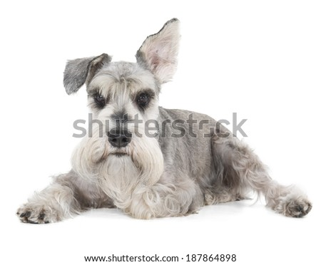 Miniature Schnauzer on a white background in studio - stock photo