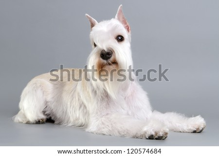 Miniature Schnauzer puppy in the background. - stock photo