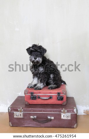 Miniature Schnauzer puppy sitting on suitcases, to go on a journey