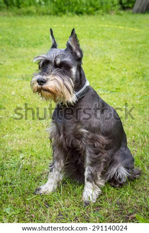 Miniature schnauzer sits on the green grass. Dog outdoor portrait.