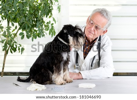 Miniature schnauzer sitting on table in senior veterinarian infirmary - stock photo