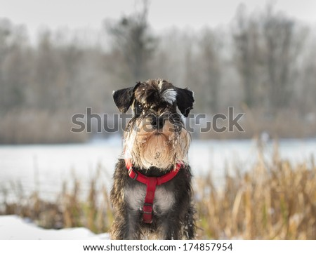 Miniature schnauzer standing on snow on meadow and looking at camera - stock photo