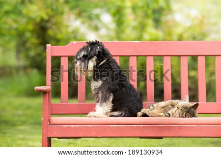 Miniature schnauzer turned back to its cat friend - stock photo