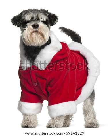 Miniature Schnauzer wearing Santa outfit, 4 and a half years old, standing in front of white background - stock photo