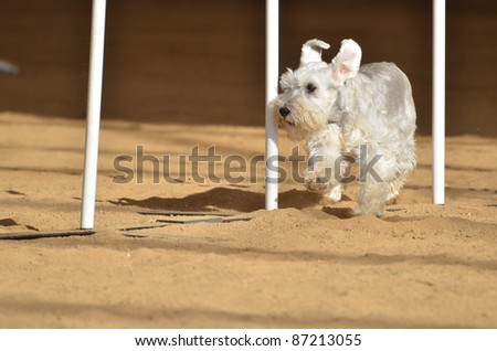 Miniature Schnauzer Weaving Through Weave Poles at a Dog Agility Trial
