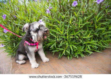 Miniature schnauzer with nature (grass and flower)