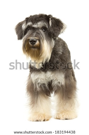 Miniature Schnauzer with Wiry Coat - stock photo