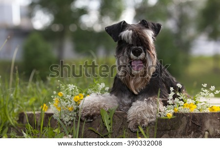 Miniature schnauzers playing in to the park - stock photo