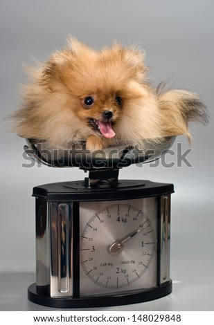 Miniature Spitz at the weigh - stock photo