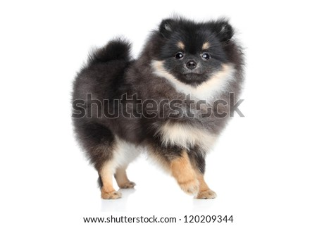 Miniature Spitz puppy standing on a white background - stock photo