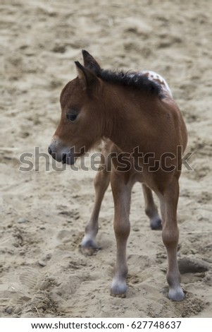 Miniature tan foal with part spotted coat seen in profile standing in indoor arena