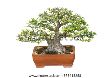 Miniature tree, bonsai, isolated on white background