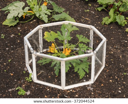 Miniature Victorian Greenhouse without a Lid with a Courgette Plant Inside in a Country Cottage Vegetable Garden in the Rural Village of Tintinhull in the County of Somerset, England, UK - stock photo