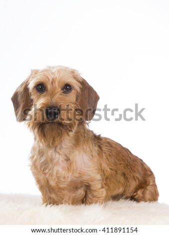 Miniature Wire-Haired Dachshund or weenie dog. The puppy is photographed in the studio.