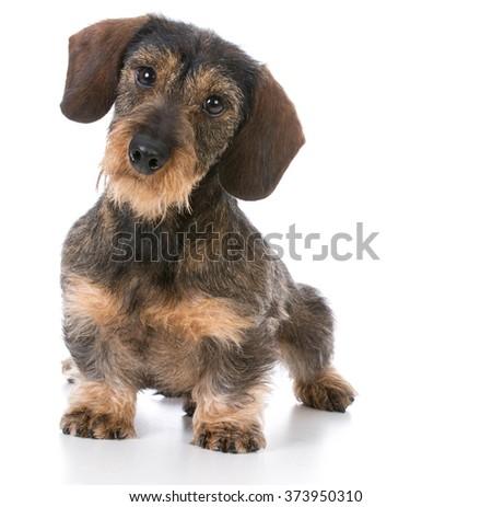 miniature wirehaired dachshund sitting on white background - stock photo