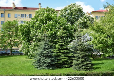 Minsk, Belarus - May 16, 2016: Beautiful landscape in a residential area with firs and blossom trees.