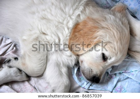 MINSK-SEPTEMBER 24: An unidentified puppy of golden retriever resting ta the PETSHOW 2011, an international exhibition of dogs and cats  on September 24, 2011 in Minsk, Belarus - stock photo