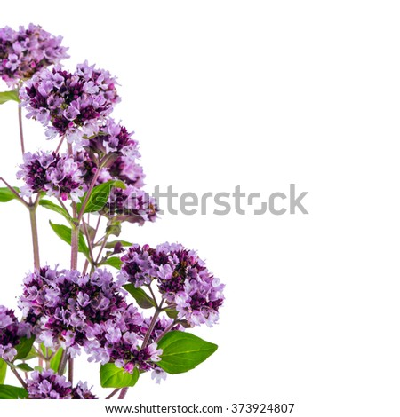 mint flowers isolated on white background