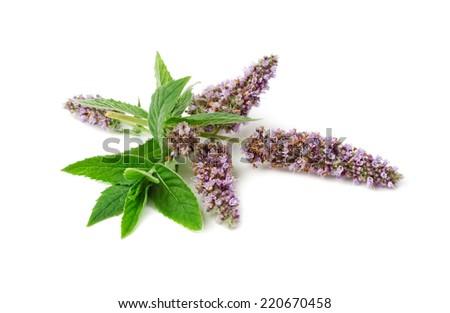 Mint flowers isolated on white background close-up - stock photo
