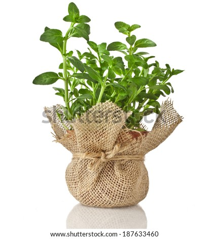 Mint herb bouquet growing in terracotta flowerpot wrapping bag cloth isolated on a white background  - stock photo