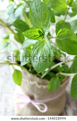 Mint herb growing in a pot - stock photo
