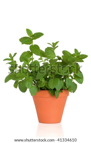 Mint herb growing in a terracotta pot, over white background. - stock photo