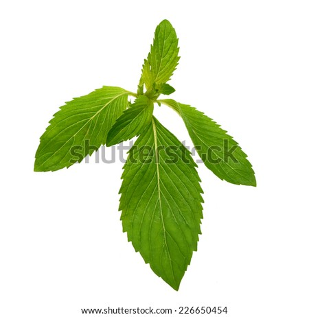 Mint herb leaves - stock photo