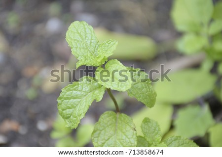 Mint Leaves Grown Garden Home Cooking Stock Photo 713858674 ...