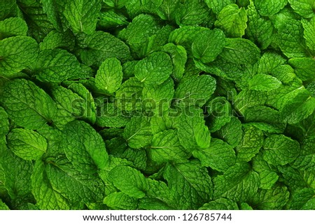 Mint leaves background. - stock photo