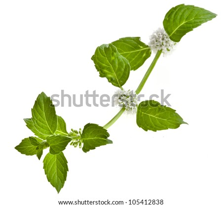 mint leaves blooming isolated on white - stock photo