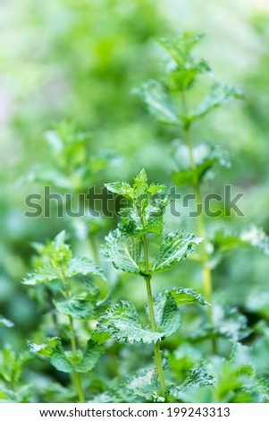 mint leaves in nature