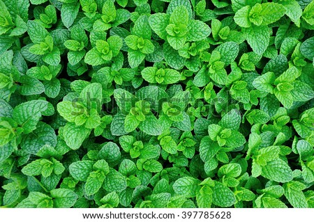 mint plant grow at vegetable garden - stock photo