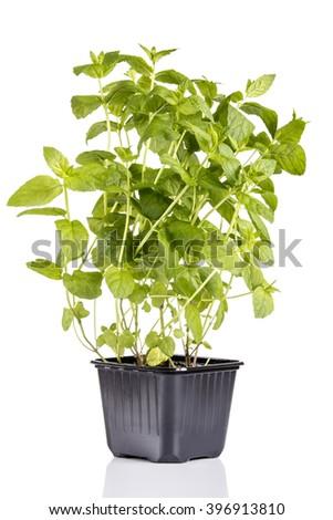 Mint plant isolated on white background - stock photo