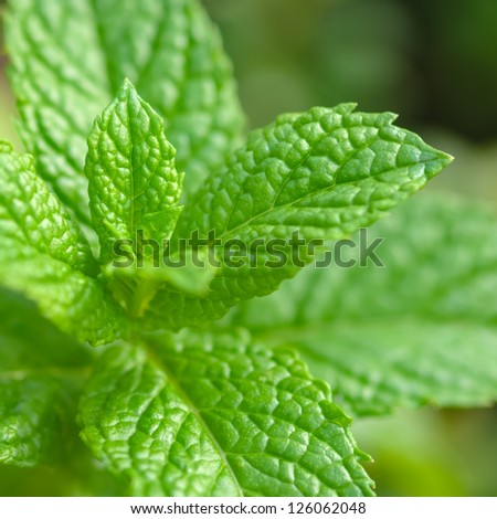 Mint Plant - Tea and herb, Square compositon - stock photo