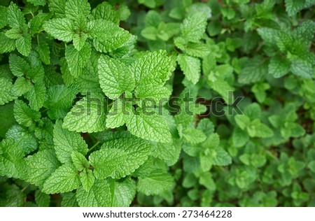 mint plants with leaves in the garden - stock photo